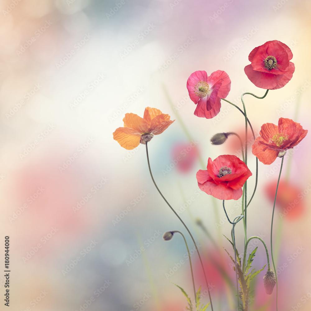 Fototapety, obrazy: Red Poppy Flowers