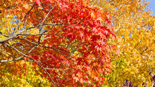 Kaleidoscope Of Autumn Colors In Washington DC Near Potomac River. Maple Branches Of Different Hues Against Each Other.