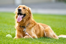 Golden Retriever Rests After P...