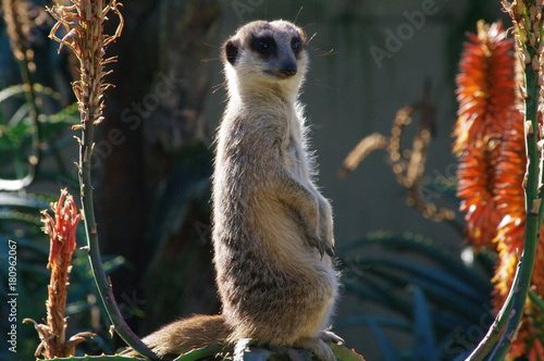 Photo  Meercat sitting upright on rock between aloe flowers