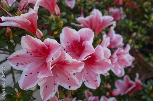 Papiers peints Azalea Azalea (Rhododendron)