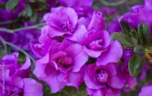 Foto op Canvas Azalea Azalea (Rhododendron)