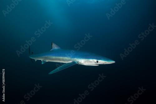 blue shark, prionace glauca, South Africa