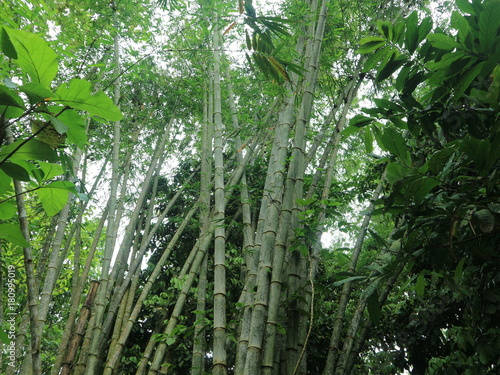 Keuken foto achterwand Bamboo Fall tree roots in the forest with green foliage and paths of rice fields and waters