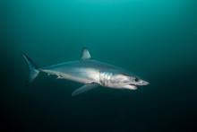 Mako Shark, Isurus Oxyrinchus,...