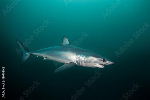 Mako shark, Isurus oxyrinchus, Atlantic ocean, Simon's Town, South Africa