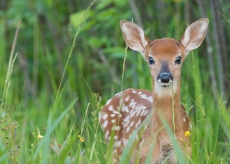 Obraz na Szkle Las Whitetail fawn in the grass