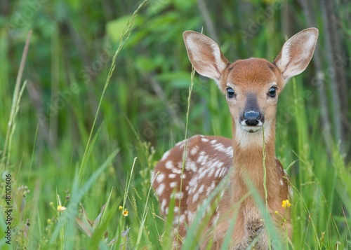 Whitetail fawn in the grass Wallpaper Mural