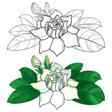 Vector Outline Gardenia Flower...