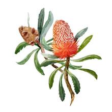 Watercolor Banksia Flower Vect...