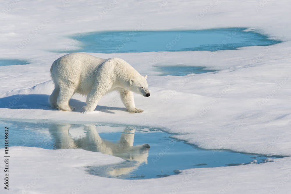 Polar bear with reflection