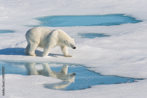Cuadros en Lienzo Polar bear with reflection