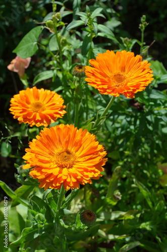 Plakat Kwitnący nagietek (lat. Calendula officinalis) w ogrodzie