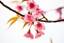 Prunus Cerasoides Or Wild Himalayan Cherry.
