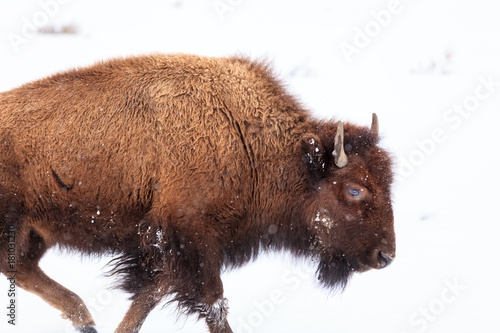 La pose en embrasure Bison An American Bison Trudges on through the snow in Yellowstone National Park