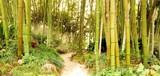 Fototapeta Bambus - Bambuswald mit Pfad im Dunst