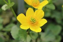 """Yellow """"Marsh Marigold"""" Flower..."""