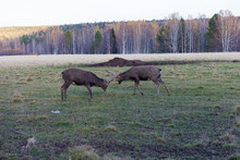 Two Deer Bucks Fighting In A F...