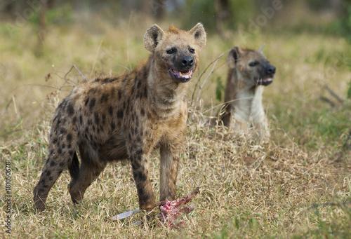 In de dag Hyena Hyena South Africa
