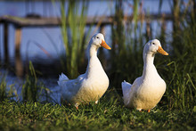 Two White Ducks Come To The Shore Of The Pond Covered With Green Grass