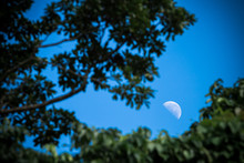 Morning Moon Behind Trees (Aus...