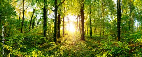 Fototapeten Wald Beautiful forest panorama with bright sun