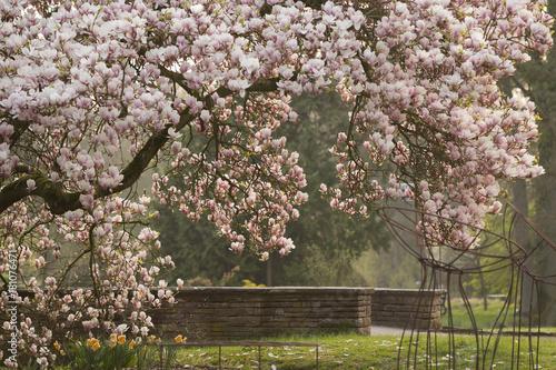 Plakat Magnolia (Magnolia) w pełnym rozkwicie