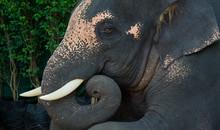 Elephant Closeup. Animal Of Thailand. Big Animal