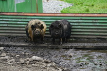 Pair Of Kune Kune Pigs In The ...
