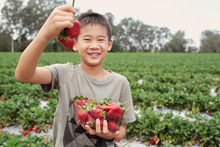 Young Asian Boy Holding A Box Of Fresh Strawberries On Organic Strawberry Farm, Homeschool Concept