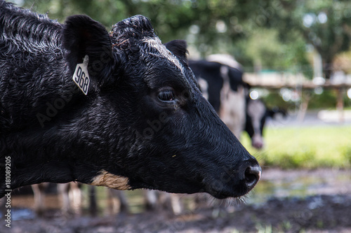 Black cow at the city farm - head shot Canvas Print