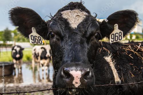 фотография Black cow at the city farm - head shot