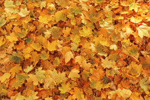 Fallen Leaves On Ground In Aut...