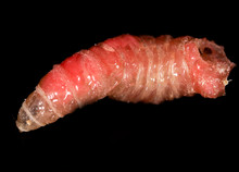 Worm Of Maggots On A Black Bac...