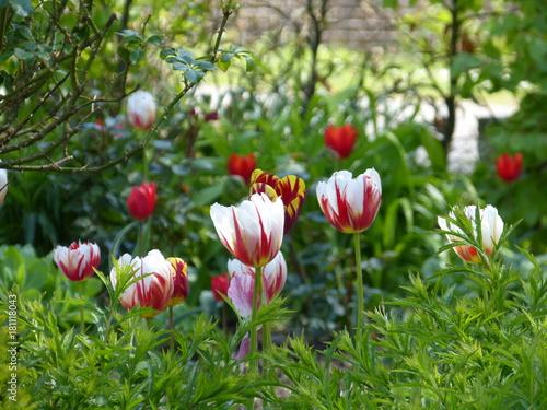 Montage in der Fensternische Tulpen Tulp - tulps - Tulpen - in farm garden in Krummhörn Ostfriesland North Sea Nordsee ... :-)