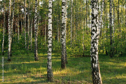 Birch forest. Birch Grove. White birch trunks