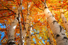 Yellow And Gold Birch Trees