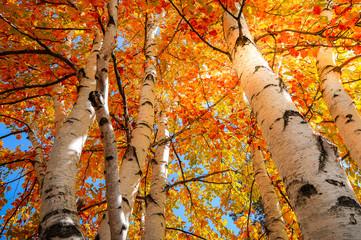 Naklejka Liście Yellow and Gold Birch Trees