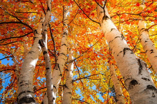 Tablou Canvas Yellow and Gold Birch Trees