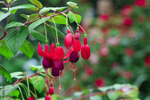 Fotografie, Tablou Image of beautiful fuchsia magellanica flower, hummingbird fuchsia or hardy fuchsia, Hanging fuchsia flowers in the garden
