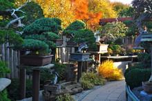 Garden Bonsai Trees Conifers