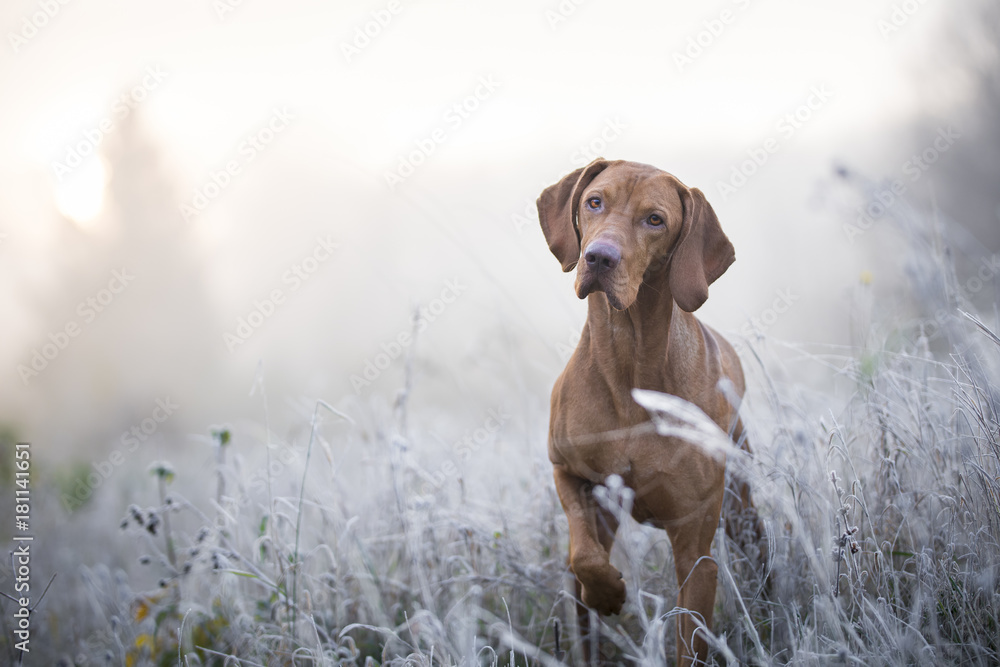 Fototapety, obrazy: Hungarian hound dog in freezy winter time