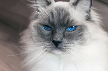 Portrait Of Beautiful Ragdoll ...