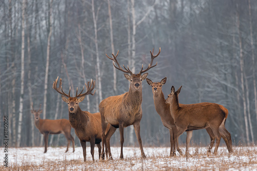Papiers peints Gris Red Deer Stag In Winter. Winter Wildlife Landscape With Herd Of Deer (Cervus Elaphus). Deer With Large Branched Horns On The Background Of Winter Forest. Stag Close-Up, Artistic View. Trophy Deer