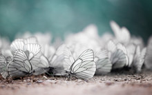 Invasion Of Butterflies. Uniqu...