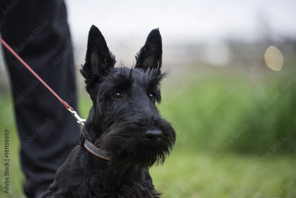 Fototapeta Scotch terrier dog in green field on leash with owner. photo is dog head and chest with man leg. horizontal with room for copy. shallow depth of field