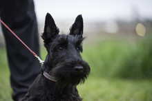 Scotch Terrier Dog In Green Field On Leash With Owner. Photo Is Dog Head And Chest With Man Leg. Horizontal With Room For Copy. Shallow Depth Of Field