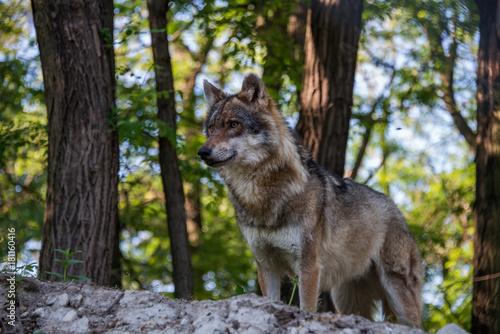 Fotografie, Obraz  Grey Wolf