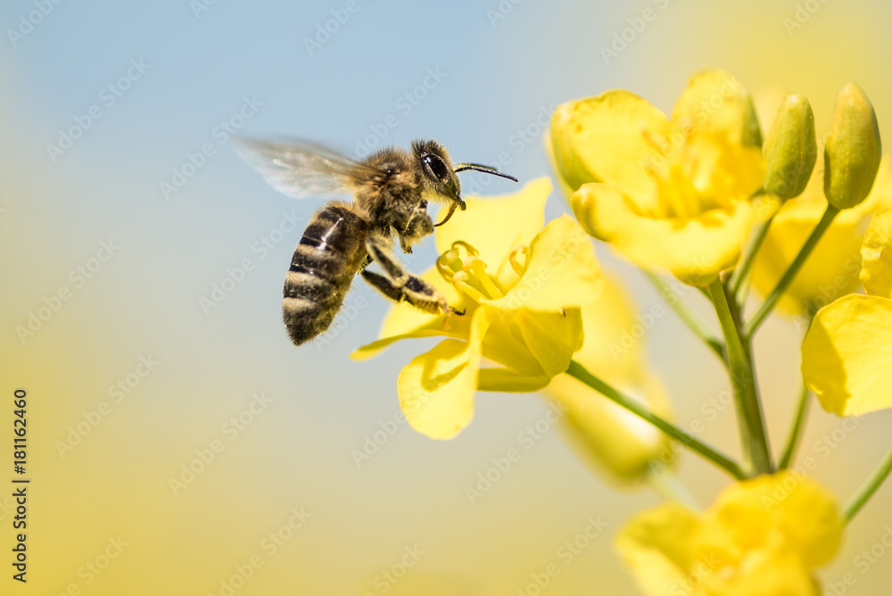 Fototapety, obrazy: Bee collects honey - rape blossom in spring