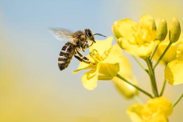 Fototapeta Bee collects honey - rape blossom in spring